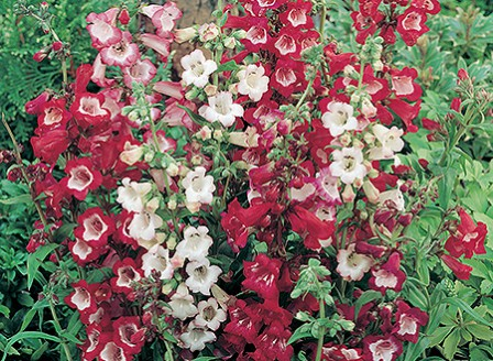 Penstemon_Esprit_Mix