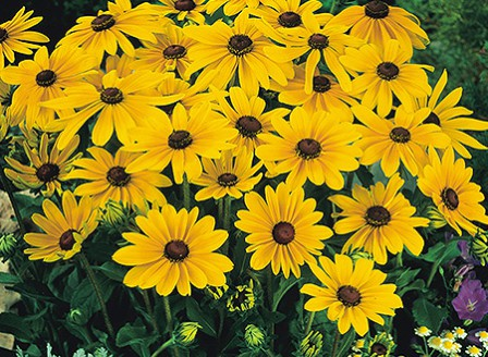 Rudbeckia_Indian_Summer-