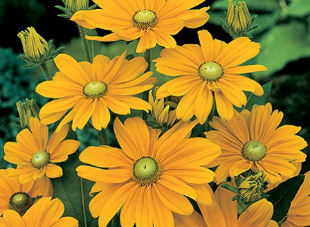 Rudbeckia_Irish_Spring