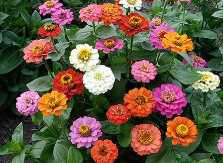Zinnia_Early_Bird