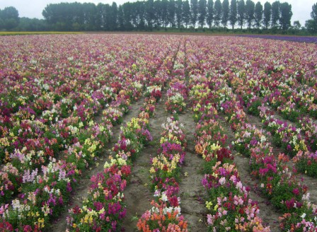 Antirrhinum pumilum Mix