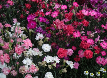 Dianthus chin. Mix