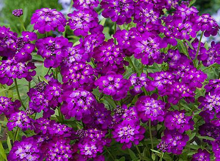 Iberis-Purple-Rain-84247