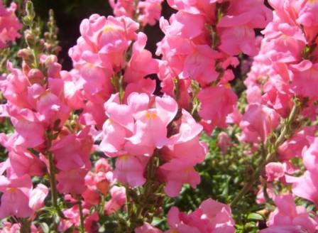 Antirrhinum rosa