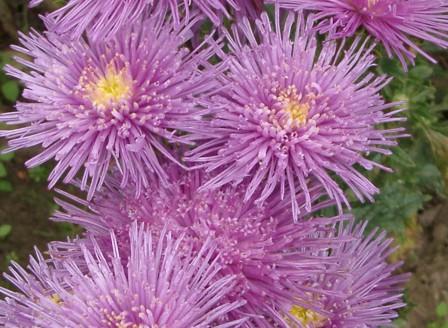 Callistephus Prinette violett