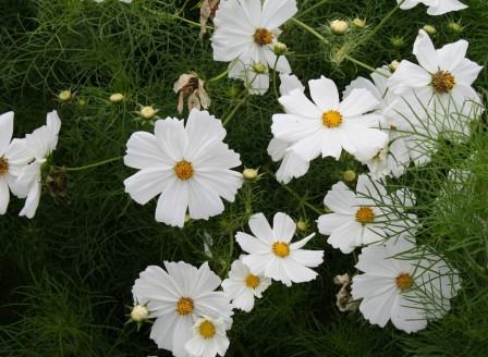 Cosmos bipinnatus weiß