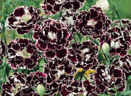 Dianthus chin Chianti