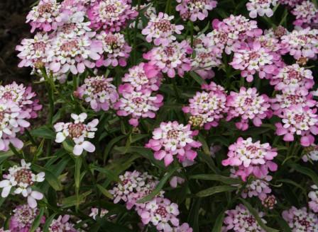 Iberis umbellata rosa IMG_1694