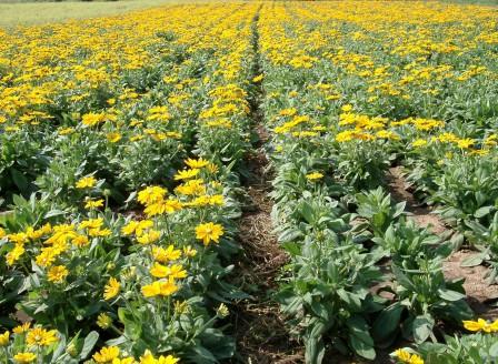 Rudbeckia Irish Spring production