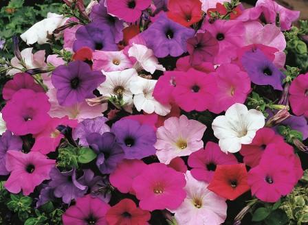 Petunia F2 Mischung EM_FL_00115