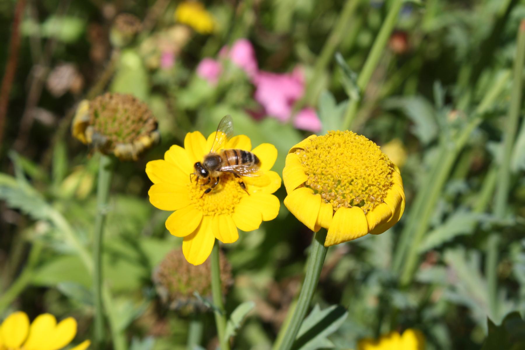 Honigwabe Wabe Flecke Saaten Handel Honig Bienen Bienenvolk Bienenstock Blumenwiesenmischung Mischung Wildblumen